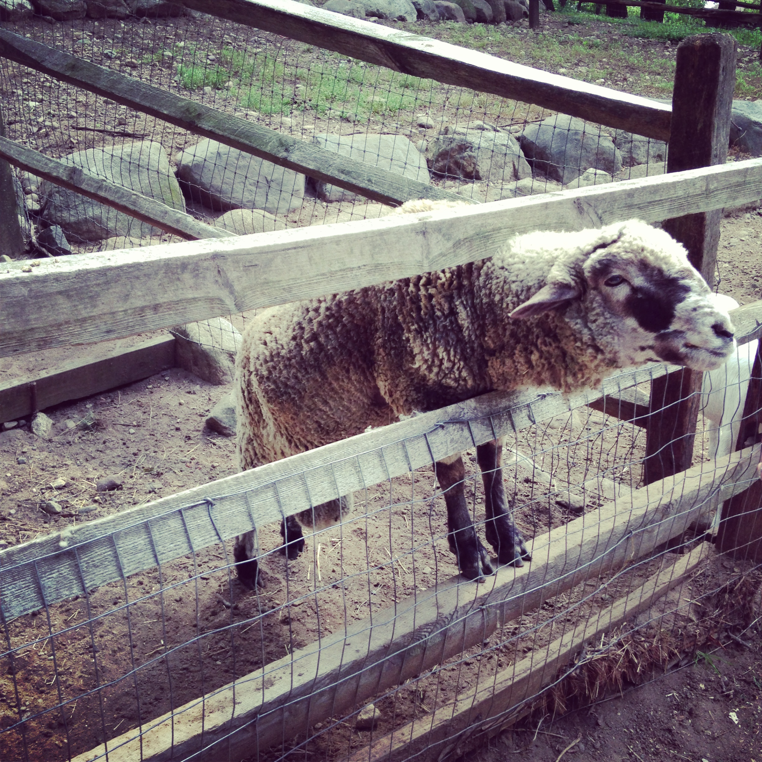 This sheep had the deepest voice ever...creepy
