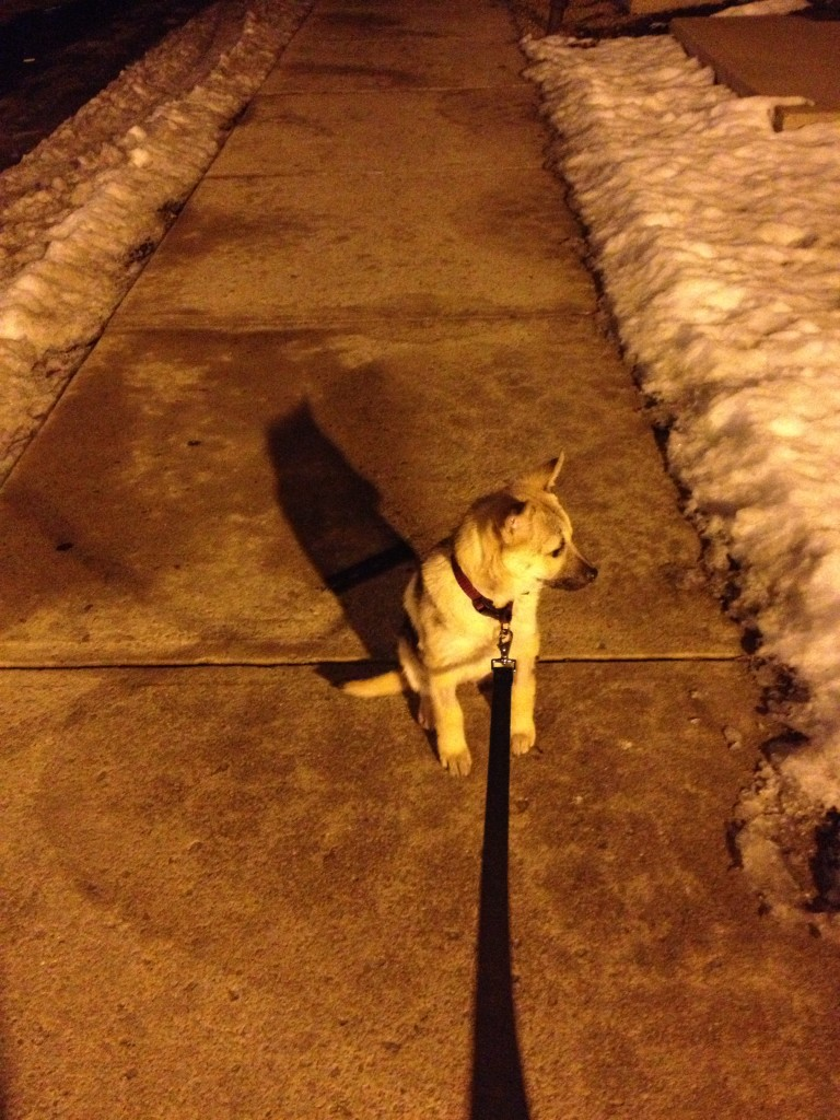A night time walk...she is such a pleasure to walk! No pulling!