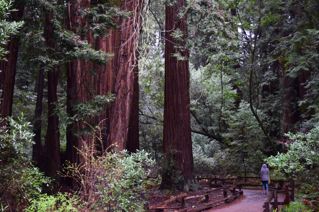 Explored Muir Woods...stunning