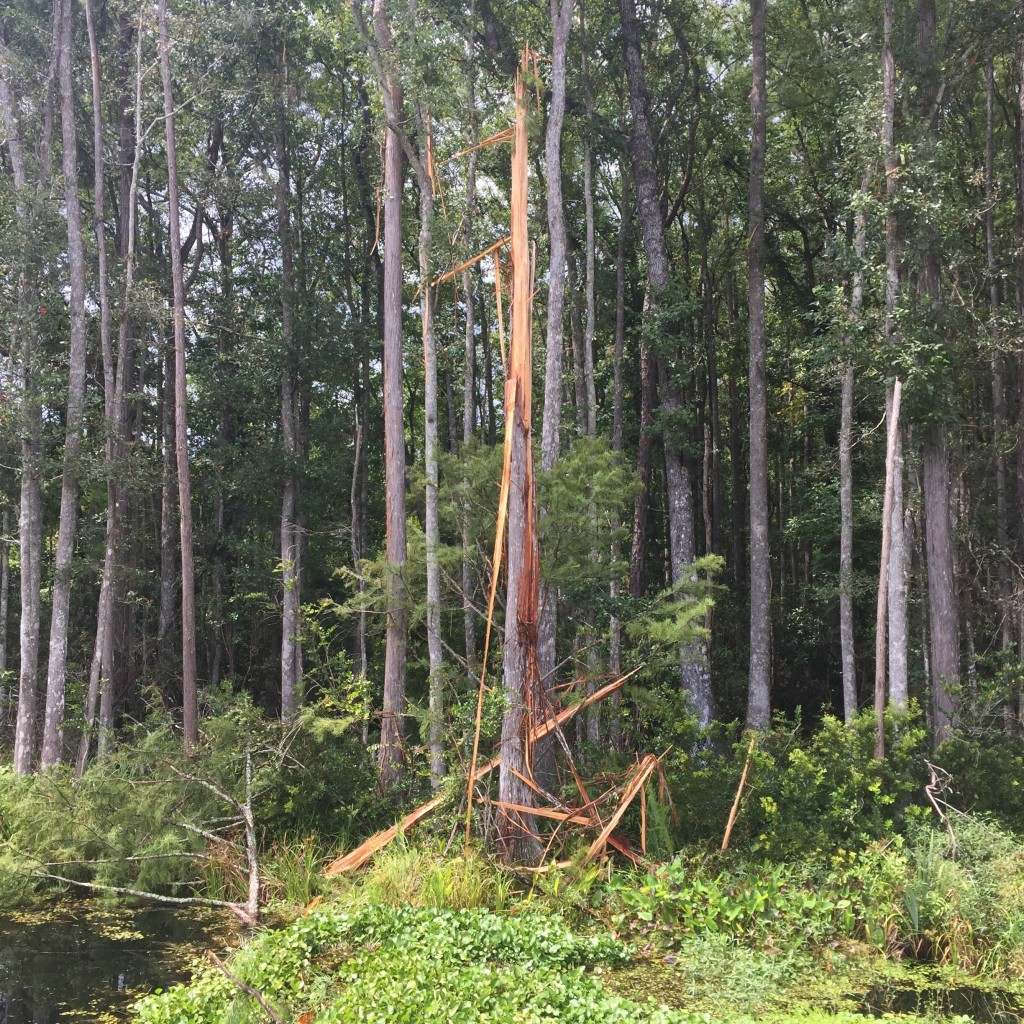 Great thunderstorms...this tree got struck by lightning!
